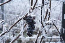 Bevroren druiventros